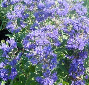 Кариоптерис Kew Blue
