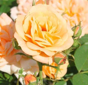 Роза патио Apricot Clementine