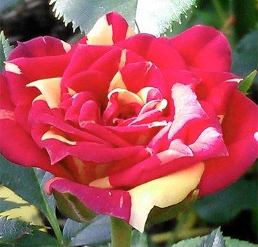 Роза патио Chilli Clementine