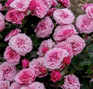 Роза патио Pink Babyflor