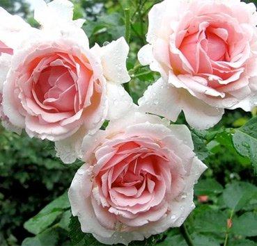 Роза флорибунда Ballade