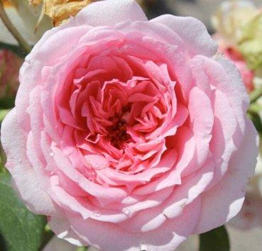 Роза флорибунда Kurfurstin Sophie