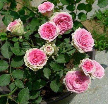 Роза флорибунда Mini Eden Rose