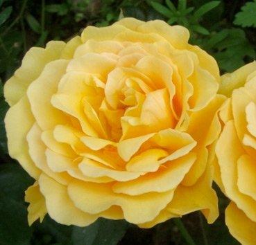 Роза полиантовая (ландшафтная) Amber Queen