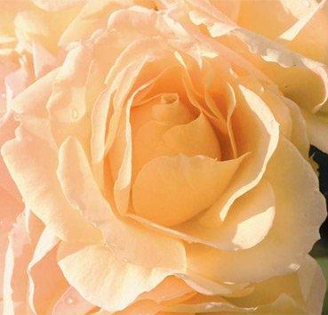 Роза полиантовая (ландшафтная) Hansestadt Rostock