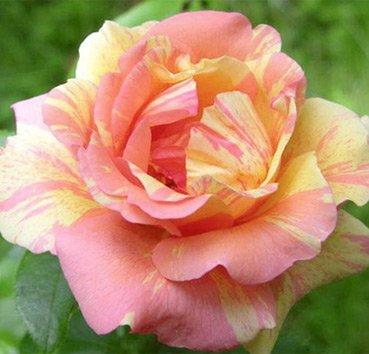 Роза полиантовая (ландшафтная) Fruite