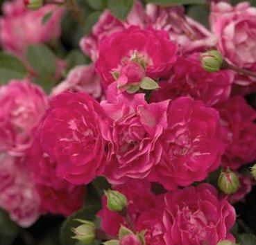 Роза чайно-гибридная Little Mischief, серия Easy Elegance