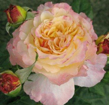 Роза Aquarell, серия Exklusive Rosen