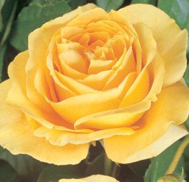 Роза Candlelight, серия Exklusive Rosen