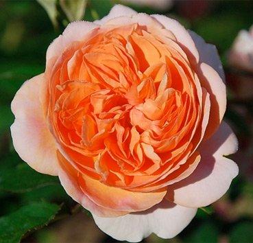 Роза Chippendale, серия Exklusive Rosen