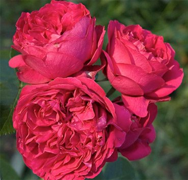 Роза Red Eden Rose, серия Exklusive Rosen