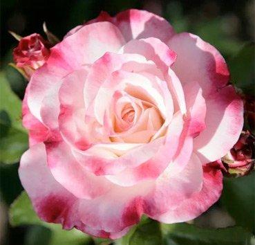 Роза Rosenstadt Freising, серия Exklusive Rosen