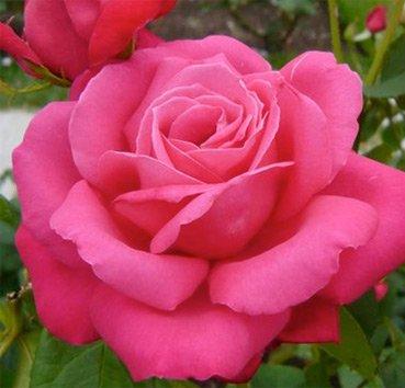 Роза Vintage, серия Les Grands Parfums de la Cote d'Azur