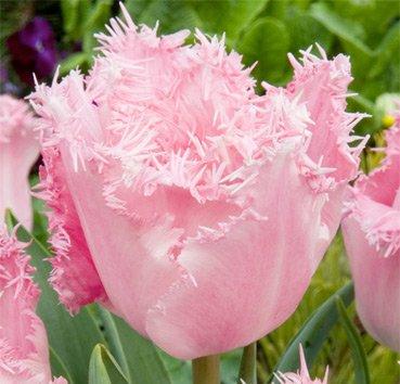 Тюльпан SANTANDER (Бахромчатые)