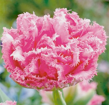 Тюльпан CRISPION LOVE (Бахромчатые)