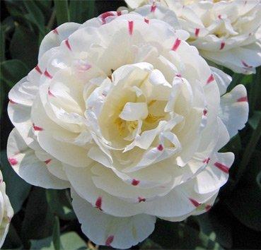 Тюльпан DANCELINE (Махровые)