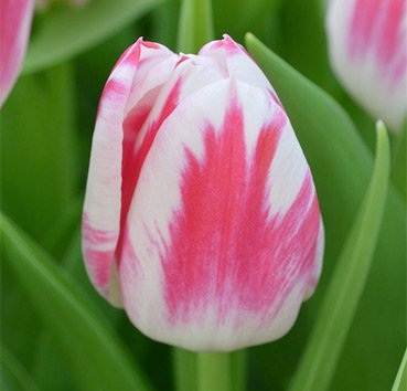 Тюльпан CARAMBA (=blenda flame) (Триумф)
