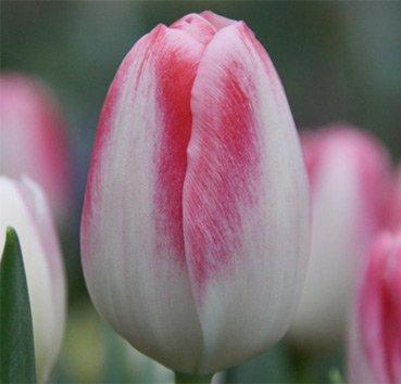 Тюльпан DONATELLO (Триумф)