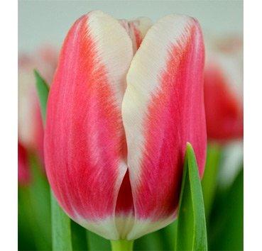 Тюльпан LECH WALESA (Триумф)