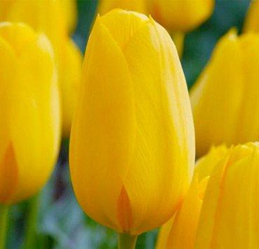 Тюльпан CONQUEROR (Гибриды Дарвина)