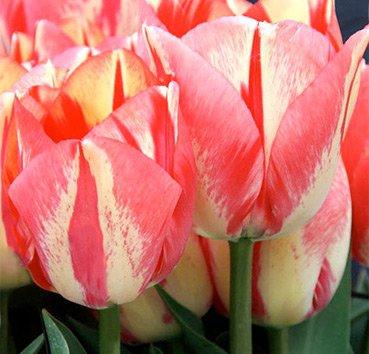 Тюльпан SPRYNG BREAK (Гибриды Дарвина)