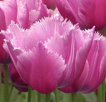 Тюльпан LOUVRE (Бахромчатые)
