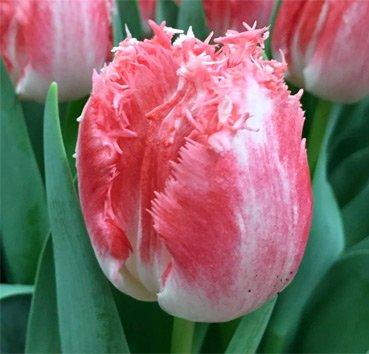 Тюльпан NEGLIGE (Бахромчатые)