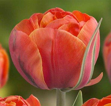 Тюльпан QUEENSDAY (Махровые)
