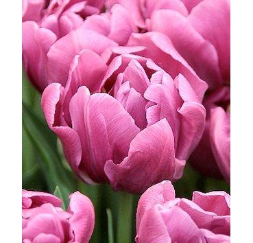 Тюльпан PURPLE SKY (Махровые)