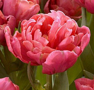 Тюльпан ADORE (Махровые)