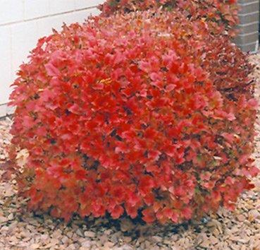 Калина трехлопастная Spring Red Compact