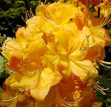 Азалия крупноцветковая (листопадная) Klondyke