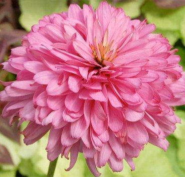 Эхинацея пурпурная Pink Poodle