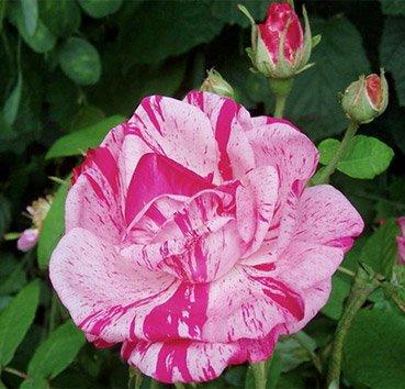 Роза английская Rosa Mundi