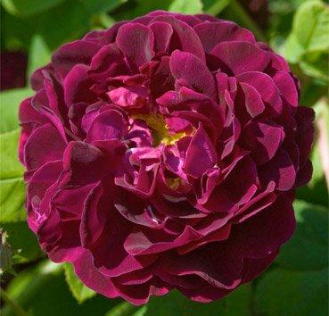 Роза английская Tuscany Superb