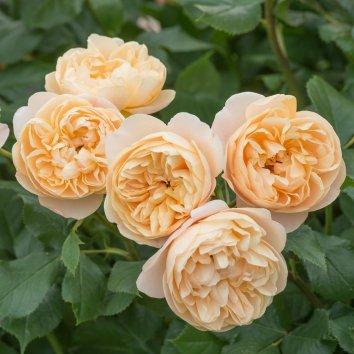 Роза английская Roald Dahl