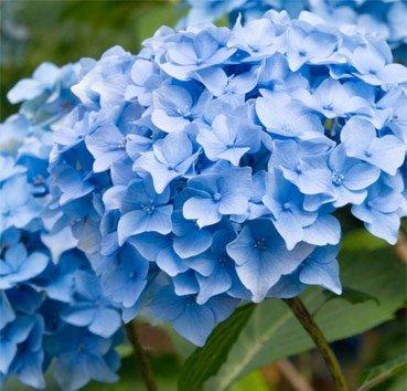 Гортензия крупноцветковая Nikko Blue