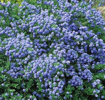 Цеанотус Blue Sapphire