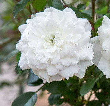 Роза флорибунда Snowfield