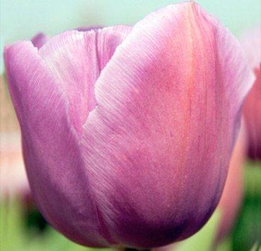 Тюльпан ALMA PAVLOVIC (Триумф)