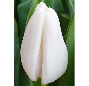 Тюльпан SNOWLADY (Триумф)