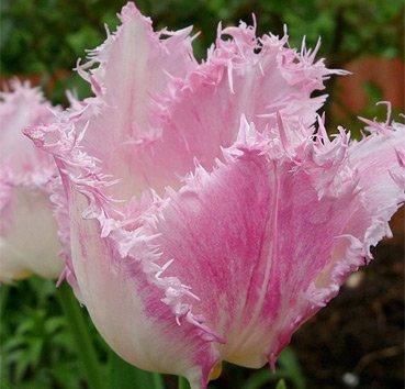 Тюльпан HUISTEN BOSCH (Бахромчатые)