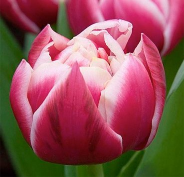 Тюльпан COLUMBUS (Махровые ранние)