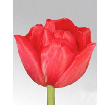 Тюльпан DOUBLE TWIST (Махровые)