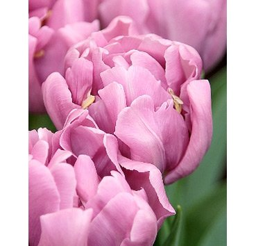 Тюльпан KICKSTART (Махровые)