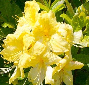 Азалия крупноцветковая Anneke