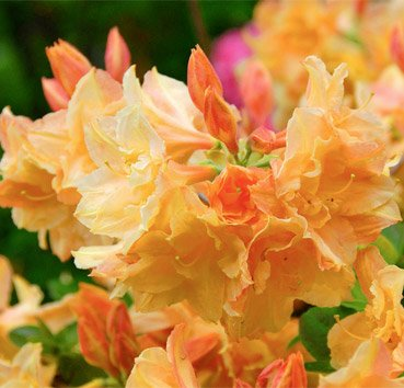 Азалия крупноцветковая Csardas