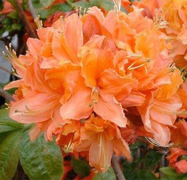 Азалия крупноцветковая (листопадная) Mandarin Lights