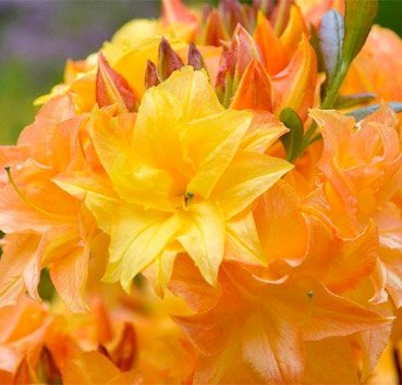 Азалия крупноцветковая Sunstar