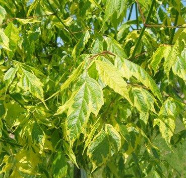 Клен ясенелистный Aureomarginatum (Argenteomarginatum)